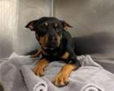 Adopt A4597737 a Parson Russell Terrier, Australian Cattle Dog / Blue Heeler