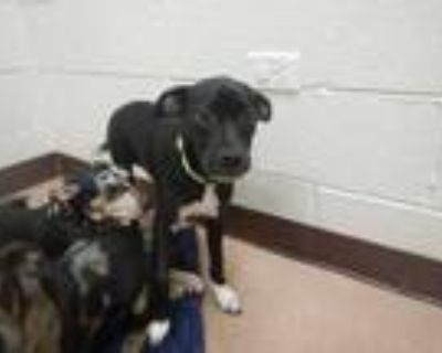 Adopt Bree a Black Catahoula Leopard Dog / Mixed dog in Boulder, CO (31915743)