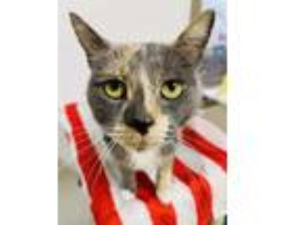 Adopt Tilly a Gray or Blue Domestic Shorthair / Domestic Shorthair / Mixed cat