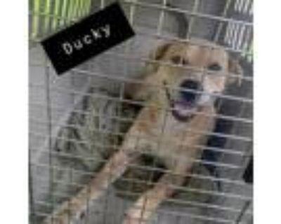 Adopt Ducky Dino a Tan/Yellow/Fawn Labrador Retriever / Catahoula Leopard Dog /