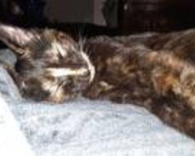Adopt Minnie a Tortoiseshell Domestic Longhair (short coat) cat in Columbia