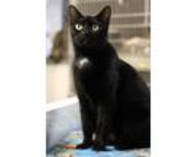 Adopt Mera a Black (Mostly) Domestic Shorthair (short coat) cat in Oklahoma