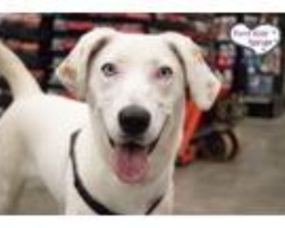 Adopt Delilah a White - with Tan, Yellow or Fawn Retriever (Unknown Type) /