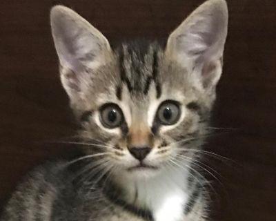 Daisy Tanaka - Domestic Shorthair - Kitten Female