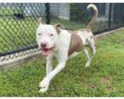 Adopt ANGLER a White - with Brown or Chocolate American Pit Bull Terrier / Mixed