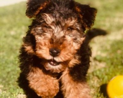 WELSH TERRIER MALE 4 MONTHS