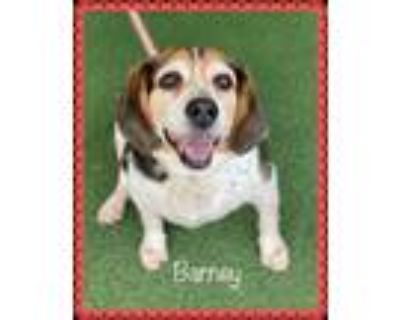 Adopt BARNEY (see EMMA and SAMMY) a Tricolor (Tan/Brown & Black & White) Beagle
