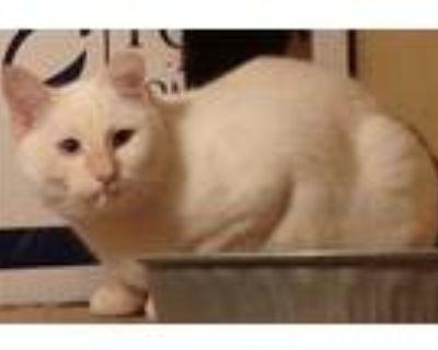 Adopt Mia a Cream or Ivory Manx (short coat) cat in Quincy, CA (32068029)