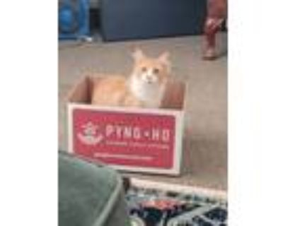 Adopt Chicken a Orange or Red (Mostly) Domestic Mediumhair / Mixed (medium coat)
