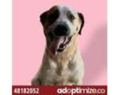 Adopt Daisy a Brown/Chocolate Blue Heeler / Mixed dog in El Paso, TX (32059200)