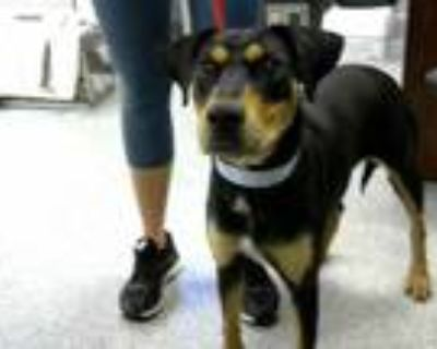 Adopt LILO a Black - with Tan, Yellow or Fawn Doberman Pinscher / Mixed dog in