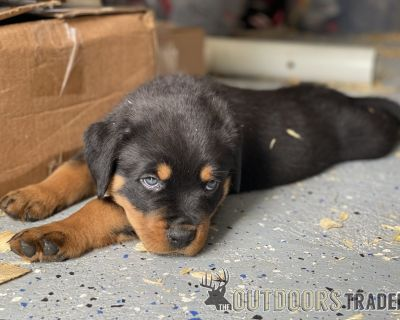 FS Rottweiler Puppies (re-homing)