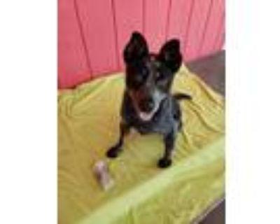 Adopt Missy a Australian Cattle Dog / Blue Heeler