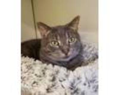 Adopt Caleb a Gray or Blue Domestic Shorthair / Domestic Shorthair / Mixed cat