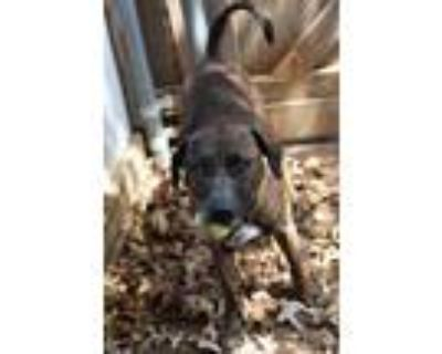 Adopt Murry a Black Mouth Cur / Mixed dog in Fort Worth, TX (32500646)