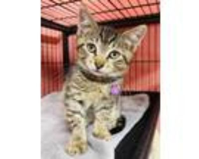 Adopt Lantern a All Black Domestic Shorthair / Domestic Shorthair / Mixed cat in
