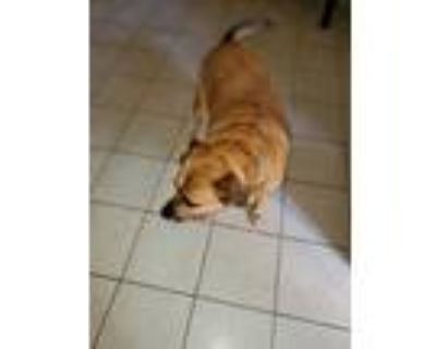 Adopt Roscoe a Tan/Yellow/Fawn Labrador Retriever / Boxer / Mixed dog in