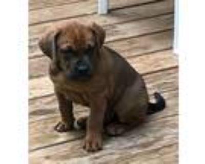 Adopt Chestnut a Tan/Yellow/Fawn - with Black Labrador Retriever / Hound