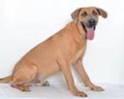 Adopt A591511 a Labrador Retriever, Weimaraner