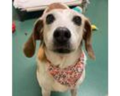 Adopt Peggy a White Hound (Unknown Type) / Mixed dog in Richmond, VA (29629542)