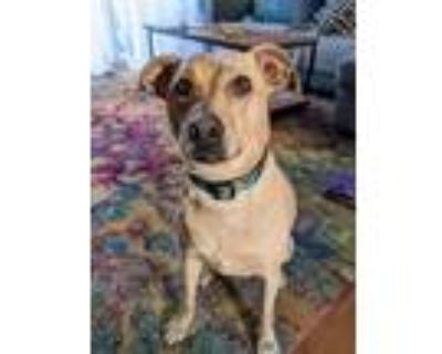 Adopt Lucy a Tan/Yellow/Fawn - with White Pug / Husky / Mixed dog in Boston