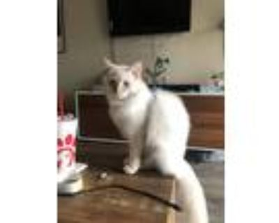 Adopt Moon a White (Mostly) Siamese / Mixed (medium coat) cat in Los Angeles