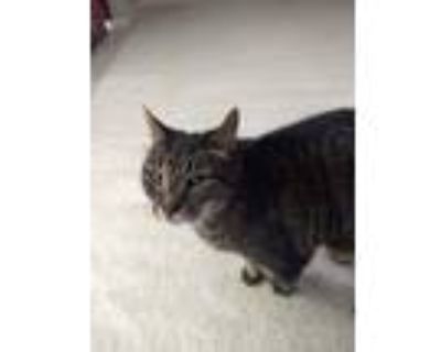Adopt Scratch a Gray, Blue or Silver Tabby American Shorthair / Mixed (short