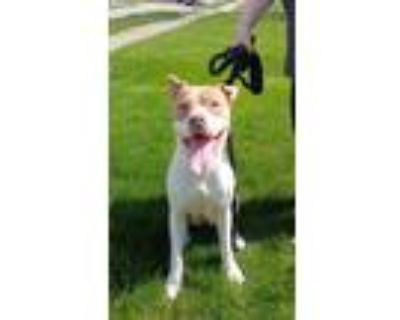 Adopt Georgette a Pit Bull Terrier