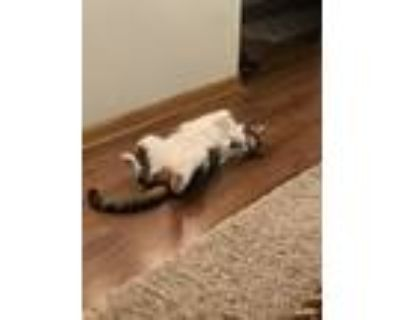 Adopt Milo a White (Mostly) Domestic Shorthair / Mixed (short coat) cat in