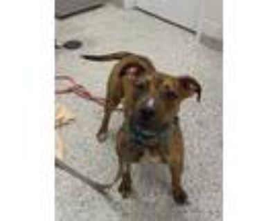 Adopt Pretzel a Brown/Chocolate American Pit Bull Terrier / Mixed dog in Kansas