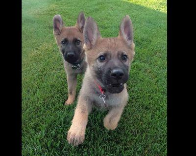 German Shepherd Dog 100% Working Line Puppies
