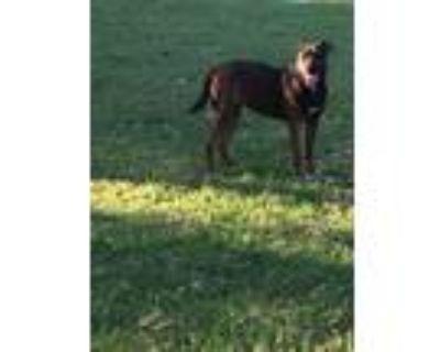 Adopt Nala a Labrador Retriever, Boxer