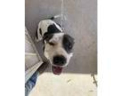 Adopt Waldo a Brown/Chocolate American Pit Bull Terrier / Mixed dog in El Paso