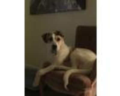 Adopt Archie a White - with Brown or Chocolate St. Bernard / Labrador Retriever