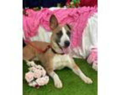 Adopt Adorable puppy Mamas a Bull Terrier, Collie