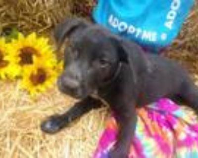 Adopt Gordy a Labrador Retriever, Cattle Dog