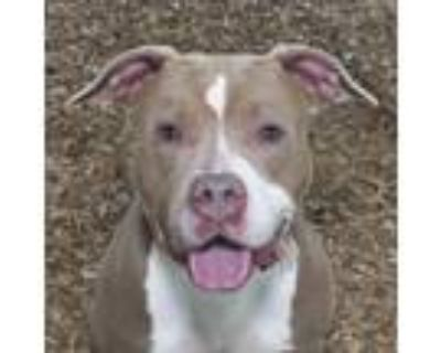 Adopt Willow a Brown/Chocolate - with White Pit Bull Terrier / Mixed dog in