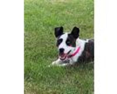 Delilah $350, Bull Terrier For Adoption In Milwaukee, Wisconsin