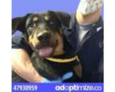 Adopt 47930959 a White Rottweiler / Mixed dog in El Paso, TX (31519603)