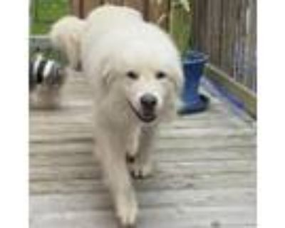 Adopt NY Lil' Foot Avail Jul 17 a Great Pyrenees, Golden Retriever