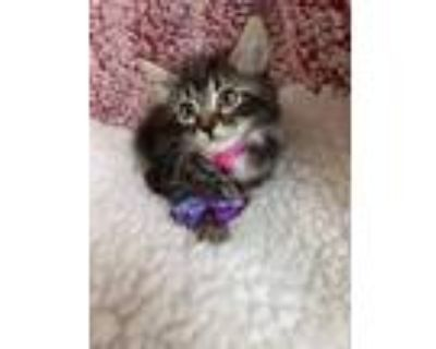Adopt Mindy a Maine Coon, Domestic Long Hair