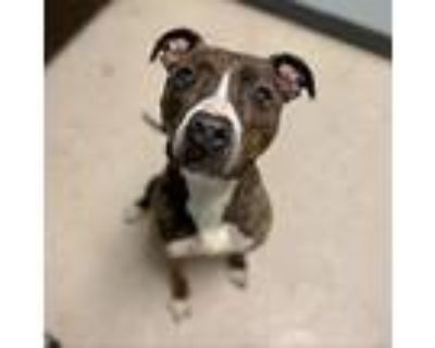 Xena, American Pit Bull Terrier For Adoption In Columbia, Missouri