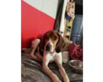 Adopt Karai a White - with Brown or Chocolate Beagle / Treeing Walker Coonhound