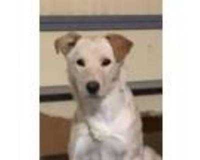 Adopt Chai a Labrador Retriever