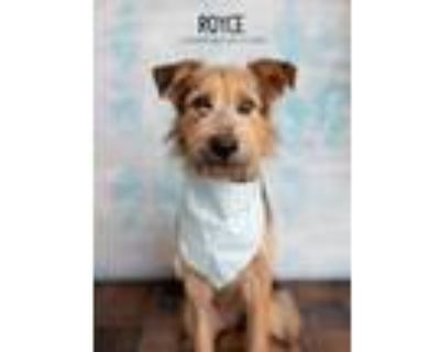 Adopt Royce a Black - with Tan, Yellow or Fawn Airedale Terrier dog in