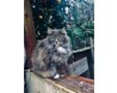Adopt Little Sweetie a Gray or Blue (Mostly) RagaMuffin / Mixed (medium coat)