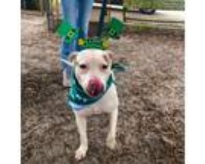 Adopt Indie a American Bully, American Staffordshire Terrier