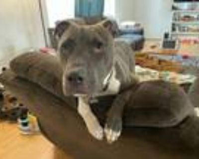 Adopt Dolly a Gray/Blue/Silver/Salt & Pepper American Staffordshire Terrier dog