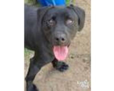 Adopt River a Black Labrador Retriever / Mixed dog in Washington, DC (32005649)