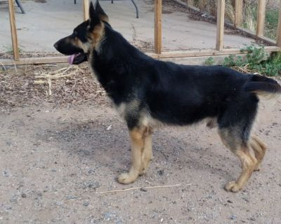 German and  Czech Blood Lines Shepherd Puppies  Due Soon  Waiting List
